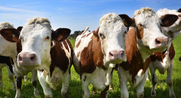 La Cina a caccia di mucche e pesci. Tra ripresa economica e ingerenza geopolitica